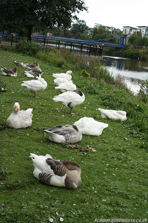 Ducks sleeping.