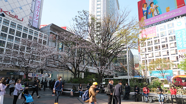 Sakura blossoms starting to bloom in Shibuya