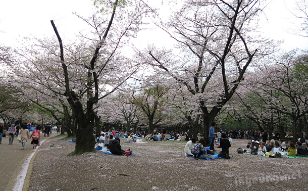 Cherry blossom festivities