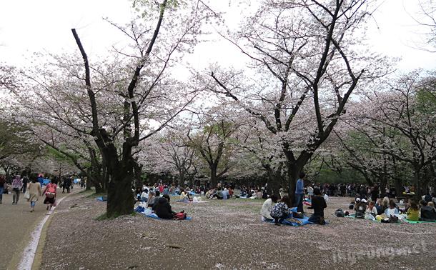 Cherry blossom festivities