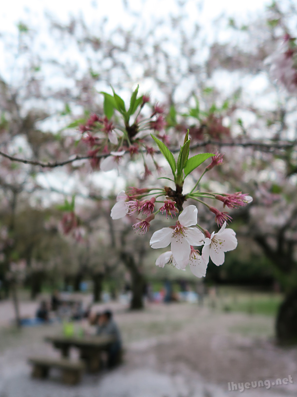 Sakura cherry blossoms.