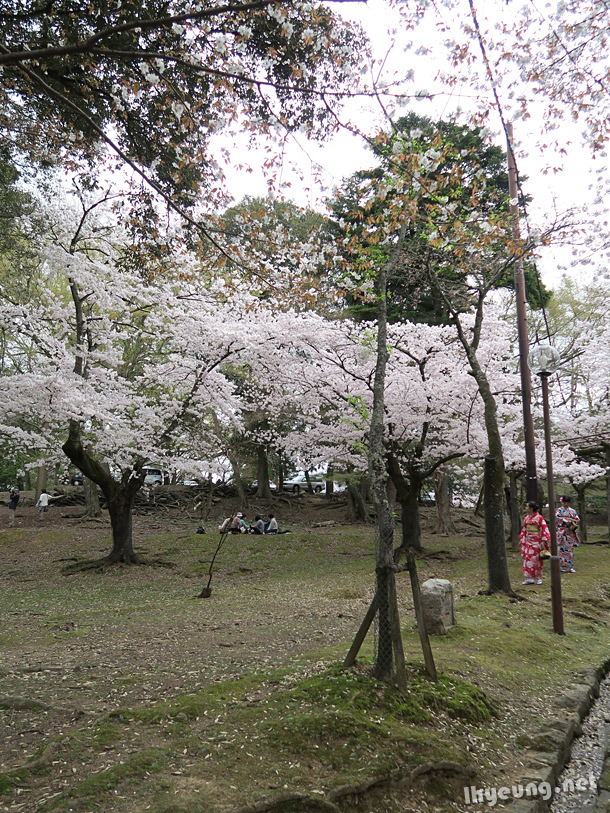 Plenty of cherry blossoms around the temple.