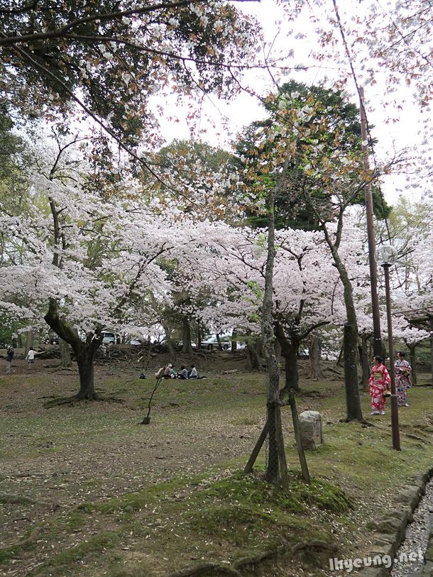 Plenty of cherry blossoms around the temple.